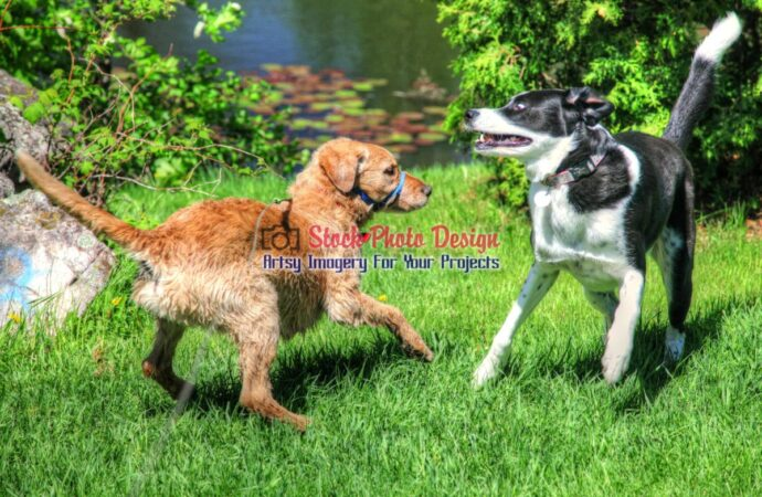 HDR Dogs Playing