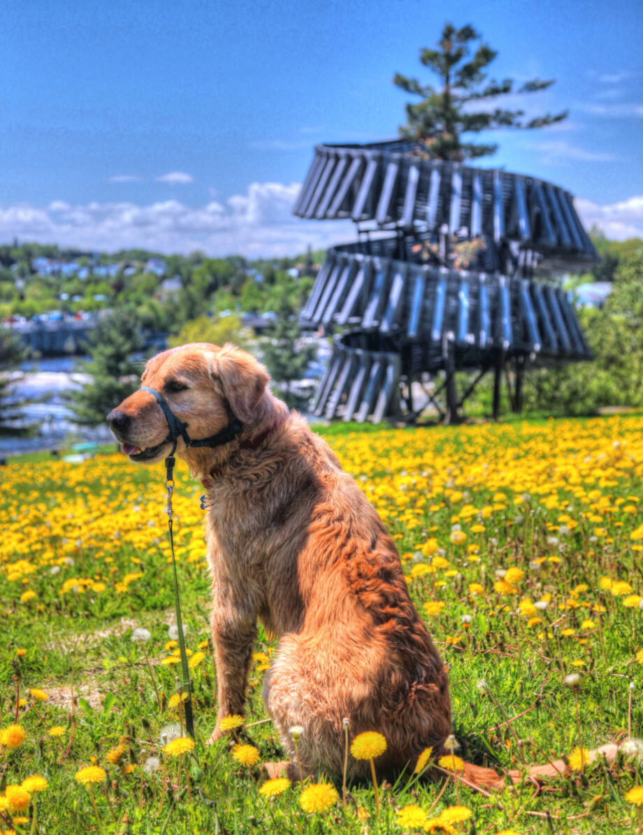 HDR Golden Retriever in the Park