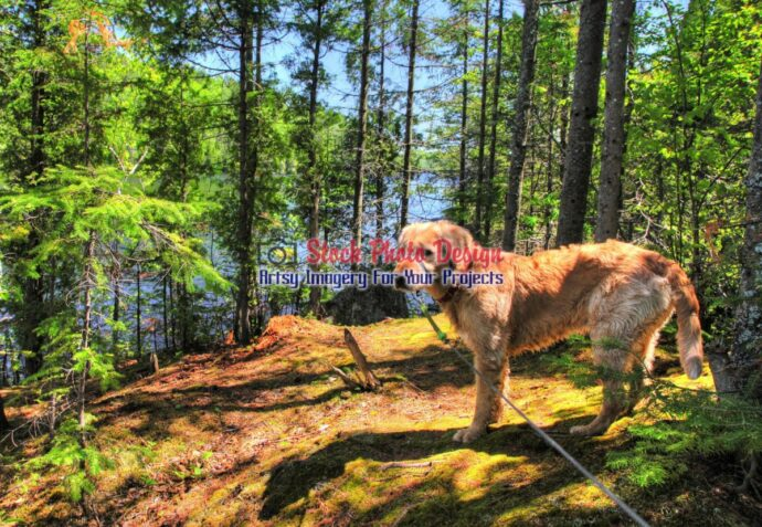 HDR Golden Retriever in the Woods 2