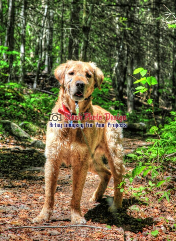 HDR Golden Retriever in the Woods 3