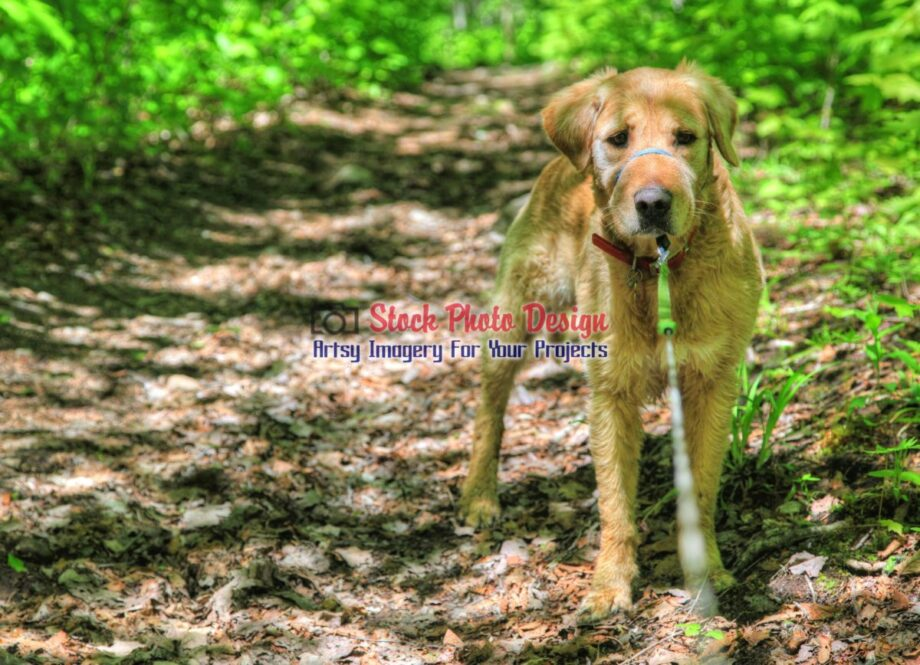 HDR Golden Retriever in the Woods
