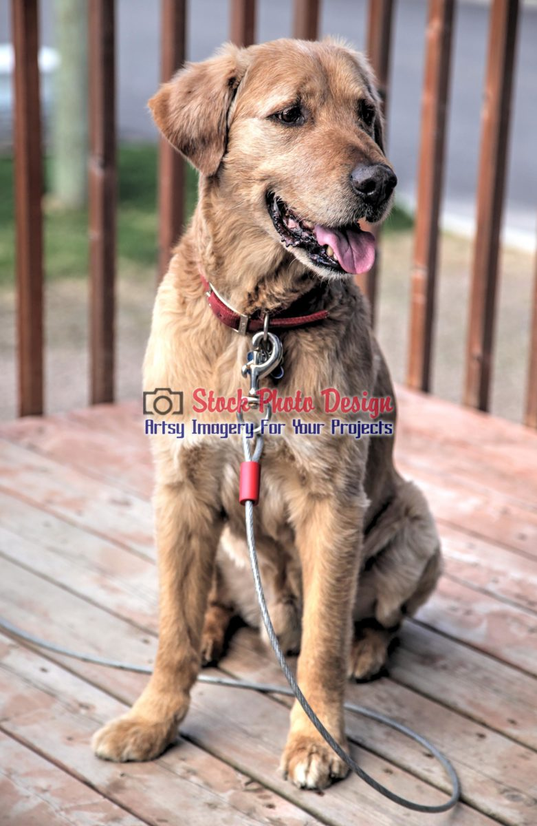 Golden Retriever Dog in HDR
